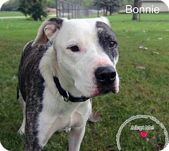 Pit Bull Terrier Mix Dog for adoption in Sidney, Ohio - Bonnie