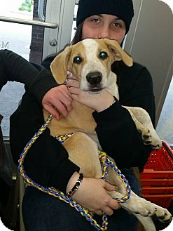 Australian Cattle Dog Mix Puppy for adoption in Middleton, Wisconsin - Sandy