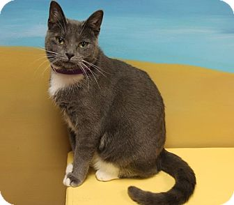 Domestic Shorthair Cat for adoption in Byron Center, Michigan - Arasely