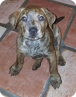 Labrador Retriever Mix Puppy for adoption in Ft. Lauderdale, Florida - Rayla