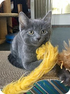Domestic Shorthair Kitten for adoption in Franklin, Indiana - Victoria