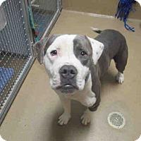 Adopt A Pet :: A1749827 is at SanDiego Bonita - Beverly Hills, CA