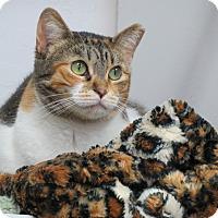 Domestic Shorthair Cat for adoption in San Carlos, California - Myrtle
