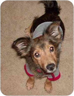 Border Collie Mix Dog for adoption in Coral Springs, Florida - Honey