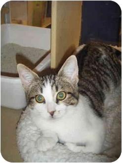 Domestic Shorthair Kitten for adoption in Brea, California - Priscilla