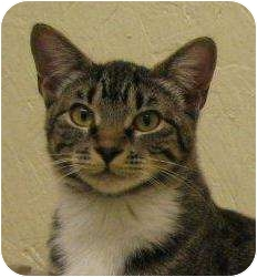 Domestic Shorthair Cat for adoption in Metairie, Louisiana - Jodie