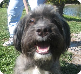 Lhasa Apso/Border Terrier Mix Dog for adoption in Jacksonville, Florida - Chloe