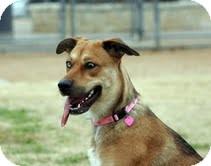 Shepherd (Unknown Type) Mix Dog for adoption in Justin, Texas - Harlee