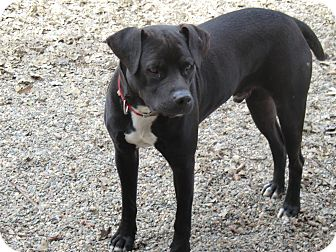 Labrador Retriever/Terrier (Unknown Type, Medium) Mix Dog for adoption in Sacramento, California - Jackson - New pics!