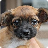 Adopt A Pet :: Carter - La Habra Heights, CA