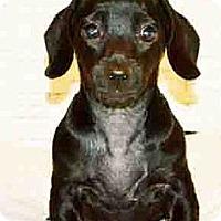 Adopt A Pet :: Snickers - San Jose, CA