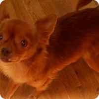 Adopt A Pet :: Cheri - dewey, AZ