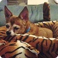 Adopt A Pet :: Trouble - Medford, MA