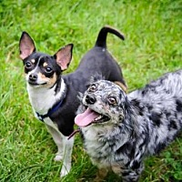 Chihuahua/Sheltie, Shetland Sheepdog Mix Dog for adoption in Southeastern, Pennsylvania - Nick and Patrick - BONDED PAIR
