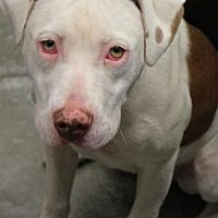 American Pit Bull Terrier Dog for adoption in Fulton, Missouri - Alice *Kentucky