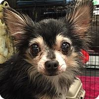 Chihuahua Dog for adoption in geneva, Florida - Precious