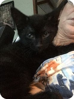 Domestic Shorthair Kitten for adoption in Sterling Hgts, Michigan - Boo ( wants all the attention)
