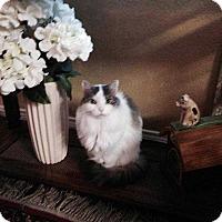 Adopt A Pet :: Trixie Simmons - Dallas, TX