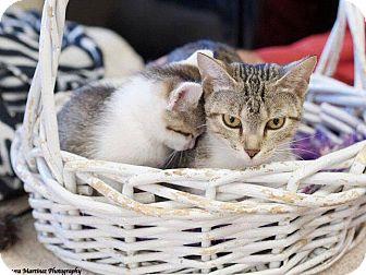 Domestic Shorthair Cat for adoption in Homewood, Alabama - Juno