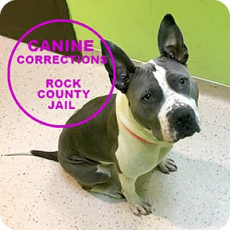 American Pit Bull Terrier Mix Dog for adoption in Janesville, Wisconsin - Sydnee