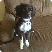 Adopt A Pet :: Scarlette pending adoption - Manchester, CT