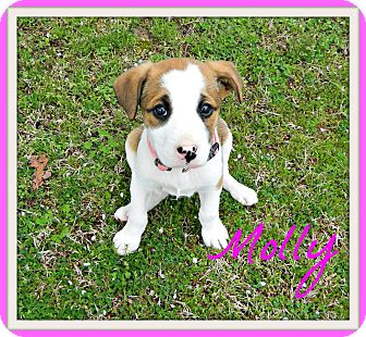 Australian Shepherd/Boxer Mix Puppy for adoption in Hensley, Arkansas - Molly
