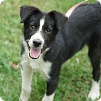 Adopt A Pet :: Scout*ADOPTED!* - Chicago, IL