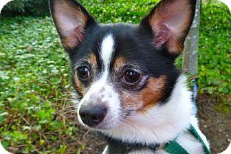 Chihuahua Mix Dog for adoption in Bellevue, Washington - Sheba