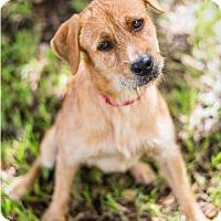 Adopt A Pet :: Buzzer - Miami, FL
