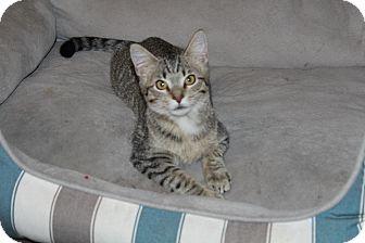Domestic Shorthair Kitten for adoption in Wichita, Kansas - Fluffernutter