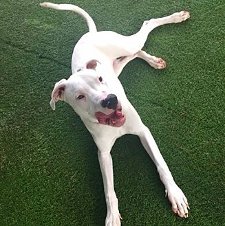 Dogo Argentino Dog for adoption in Burbank, California - Sweet Noah