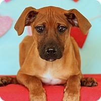 Adopt A Pet :: Saint ADOPTION PENDING - Waldorf, MD