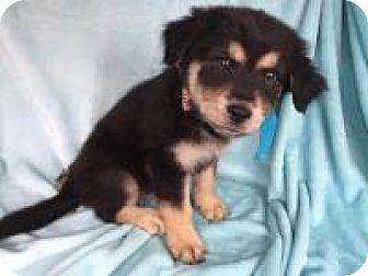 Labrador Retriever Mix Puppy for adoption in Texarkana, Texas - Racy in Texarkana, TX