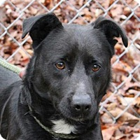 Labrador Retriever Mix Dog for adoption in Allentown, Pennsylvania - Norman