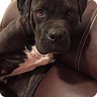 Adopt A Pet :: Ophelia - Sayville, NY