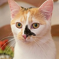 Domestic Shorthair Cat for adoption in Nashville, Tennessee - Lisa