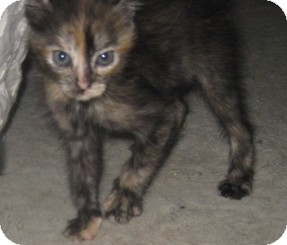 Maine Coon Kitten for adoption in Dallas, Texas - Blossom