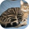 Domestic Shorthair Cat for adoption in Powell, Ohio - Hedda