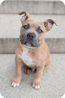 American Staffordshire Terrier Mix Puppy for adoption in Reisterstown, Maryland - Royce