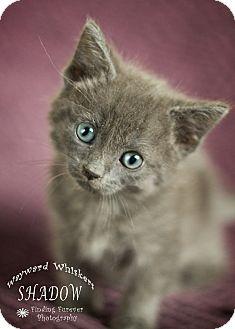Domestic Shorthair Kitten for adoption in San Antonio, Texas - Shadow