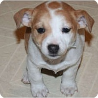 Adopt A Pet :: Tinker - Westfield, IN