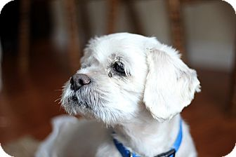 Shih Tzu Mix Dog for adoption in Long Beach, New York - Andy