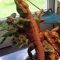 Lizard for adoption in Aurora, Illinois - Paulie