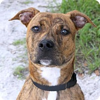 Hound (Unknown Type)/Boxer Mix Dog for adoption in Loxahatchee, Florida - Dude