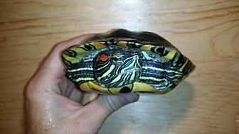 Turtle - Other for adoption in Pefferlaw, Ontario - Jacob