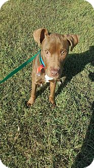 Labrador Retriever/English Pointer Mix Puppy for adoption in Channahon, Illinois - Henry