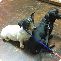 Adopt A Pet :: Gussie - Lubbock, TX