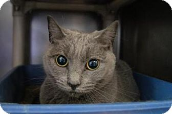 Domestic Shorthair Cat for adoption in New Milford, Connecticut - Susan