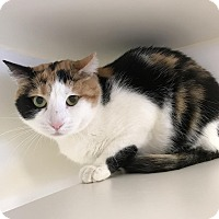 Adopt A Pet :: Calico - Reisterstown, MD