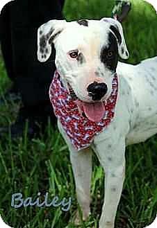 Pointer/Dalmatian Mix Dog for adoption in Tampa, Florida - Bailey